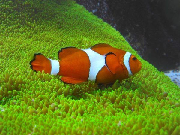 ryba kloun