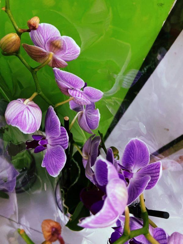 фаленопсис Орхидея Фаленопсис одноствольная