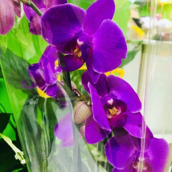 1 Орхидея Фаленопсис одноствольная