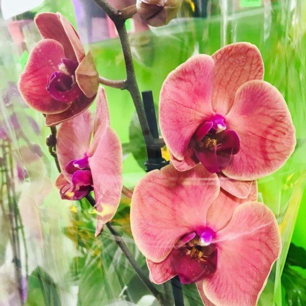 2 Орхидея Фаленопсис одноствольная