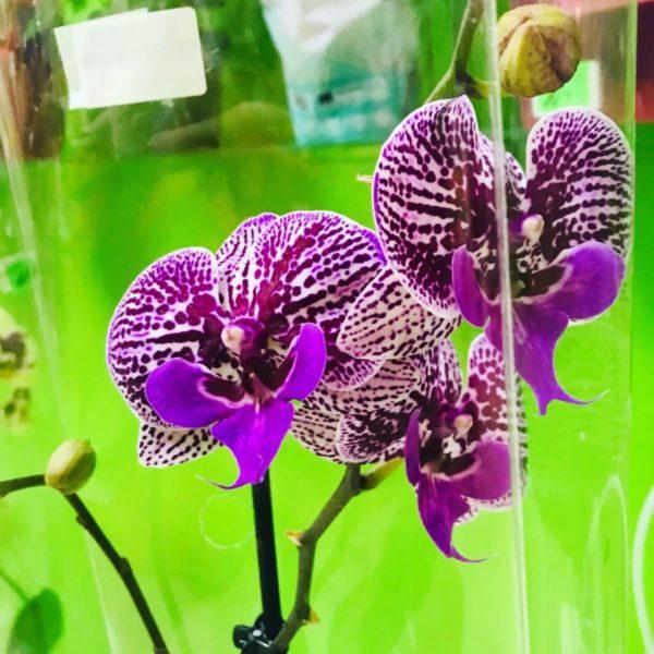 3 Орхидея Фаленопсис одноствольная